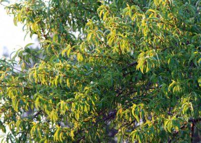 la-goutte-d-eau-arbres-fruitiers5