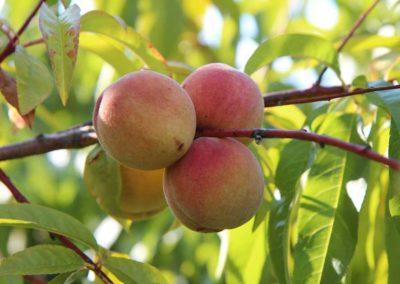 la-goutte-d-eau-arbres-fruitiers6
