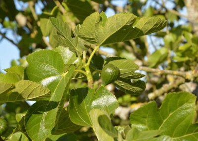 la-goutte-d-eau-arbres-fruitiers7
