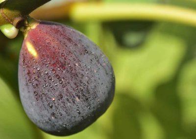 la-goutte-d-eau-arbres-fruitiers8