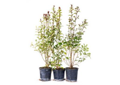 la-goutte-d-eau-arbustes6