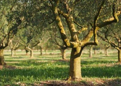 la-goutte-d-eau-olivier3