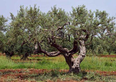 la-goutte-d-eau-olivier4